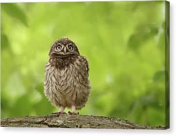 Little Owlet Canvas Print by Roeselien Raimond