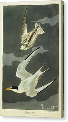 Little Tern Canvas Print by John James Audubon