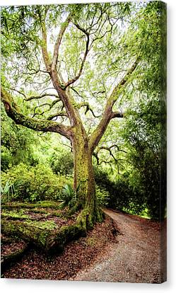Live Oak Magic Canvas Print by Scott Pellegrin