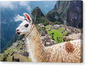 Llama At Machu Picchu Canvas Print by Jess Kraft