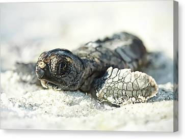 Loggerhead Sea Turtle Hatchling Canvas Print by Kristian Bell