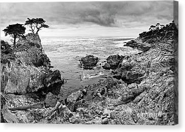 Lone Cypress Panorama Canvas Print by Jamie Pham