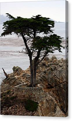 Lone Cypress Canvas Print by Susie Weaver