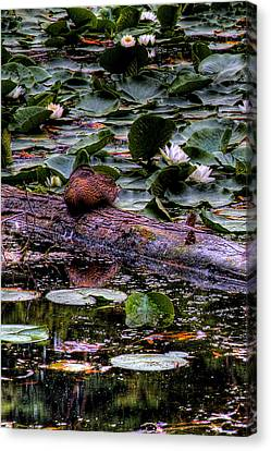 Lone Duck Canvas Print by David Patterson