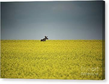 Lone Moose Canvas Print by Ian McGregor