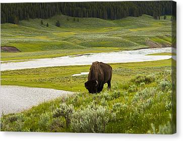 Lonely Bison Valley Canvas Print by Chad Davis