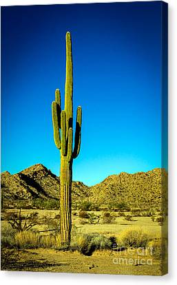 Lonesome Saguaro Canvas Print by Robert Bales