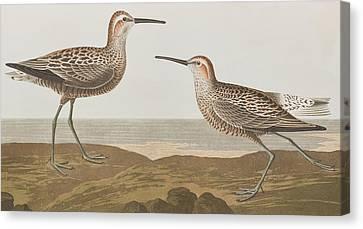 Long-legged Sandpiper Canvas Print by John James Audubon