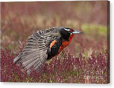 Long-tailed Meadowlark Canvas Print by Jean-Louis Klein & Marie-Luce Hubert