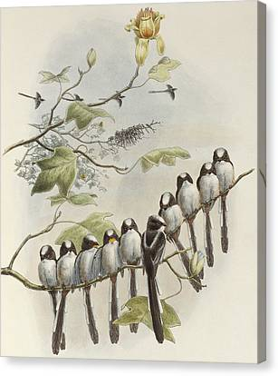 Long-tailed Tit  Canvas Print by John Gould