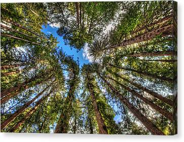 Looking Up At Muir Woods Forest Redwood Trees Canvas Print by Jennifer Rondinelli Reilly
