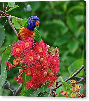 Lorikeet And Gum Nut Blossoms By Kaye Menner Canvas Print by Kaye Menner