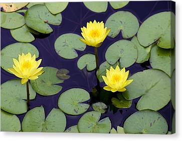 Loti In Lilly Pads Canvas Print by Kristin Smith