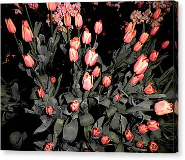 Lots Of Tulips Canvas Print by Kate Gallagher