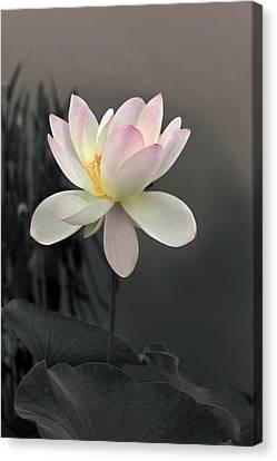 Lotus Alight Canvas Print by Jessica Jenney