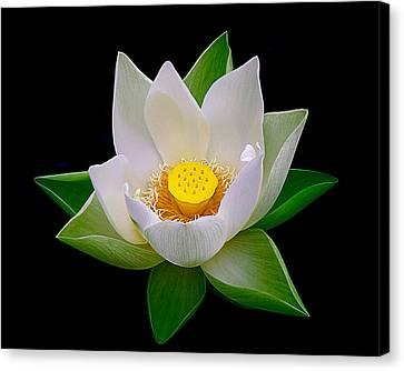 Lotus Blooming Canvas Print by Julie Palencia