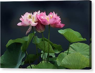 Lotus Embrace Canvas Print by Jessica Jenney