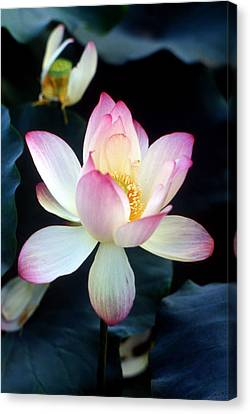 Lotus Fragrance Overflowing Canvas Print by Lian Wang
