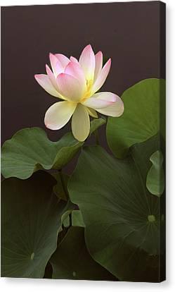 Lotus Unfurled Canvas Print by Jessica Jenney