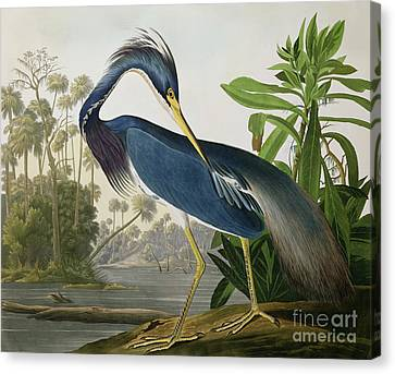 Louisiana Heron Canvas Print by John James Audubon