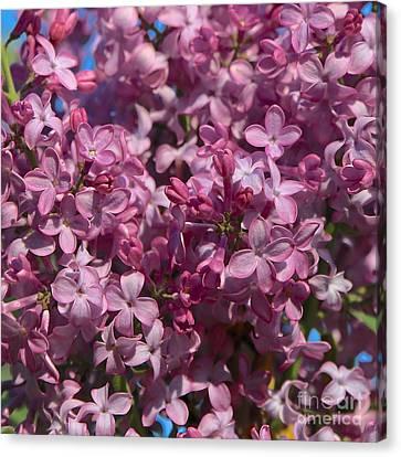 Love Lilacs Canvas Print by Carol Groenen
