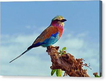 Lovely African Lilac-breasted Roller Canvas Print by Mountain Dreams