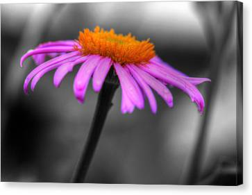 Lovely Purple And Orange Coneflower Echinacea Canvas Print by Shelley Neff
