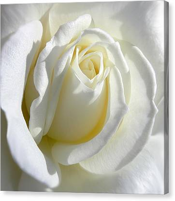 Luminous Ivory Rose Canvas Print by Jennie Marie Schell