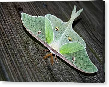 Luna Moth Canvas Print by Amber Flowers