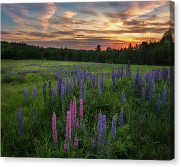 Lupine Sunset Canvas Print by Bill Wakeley