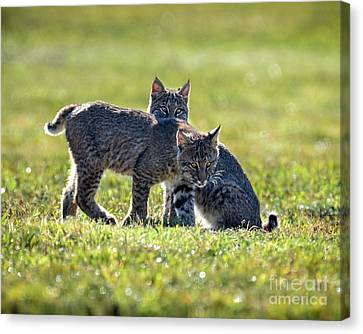 Lynx Kittens Canvas Print by Amy Porter