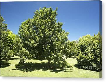 Macadamia Nut Tree Canvas Print by Kicka Witte - Printscapes
