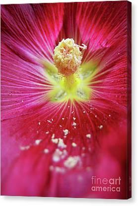 Macro Pink Purple Hollyhock Canvas Print by Maria Massimiano