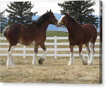 Magnificant Horses - The Clydesdales -6  Canvas Print by Diane M Dittus