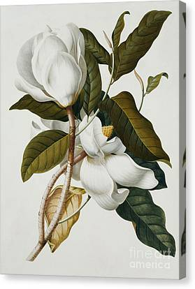 Magnolia Canvas Print by Georg Dionysius Ehret