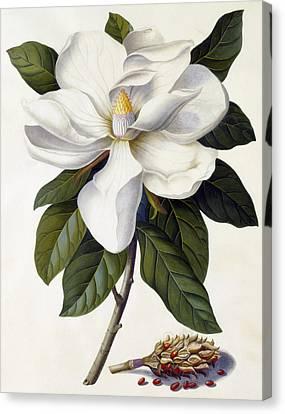 Magnolia Grandiflora Canvas Print by Georg Dionysius Ehret