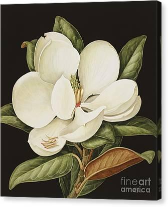 Magnolia Grandiflora Canvas Print by Jenny Barron