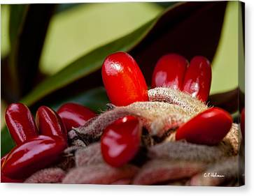 Magnolia Seeds Canvas Print by Christopher Holmes