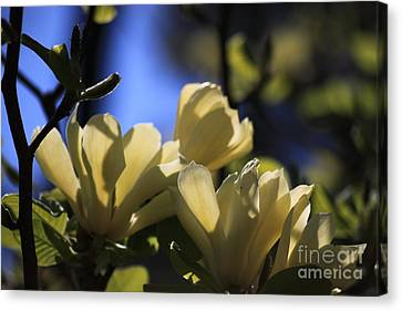 Magnolia White 3 Canvas Print by Patrick Dablow
