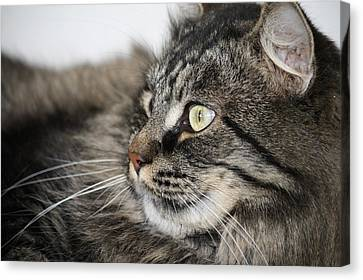 Maine Coon Cat Canvas Print by Mary-Lee Sanders
