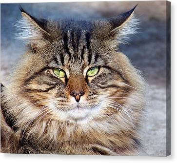 Maine Coon I Canvas Print by Jai Johnson