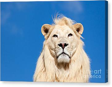 Majestic White Lion Canvas Print by Sarah Cheriton-Jones