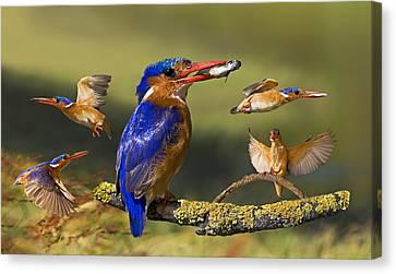 Malachite Kingfisher Collage Canvas Print by Basie Van Zyl