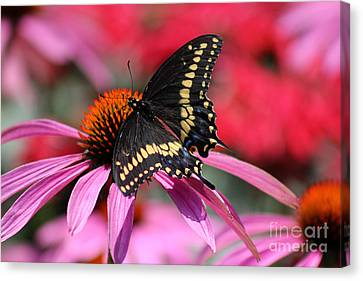 Male Black Swallowtail Butterfly On Echinacea Plant Canvas Print by Karen Adams