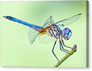 Male Blue Dasher Dragonfly Canvas Print by Bonnie Barry