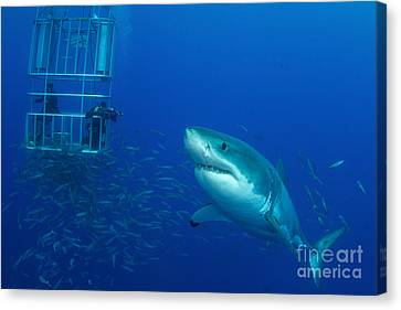 Male Great White Shark And Divers Canvas Print by Todd Winner
