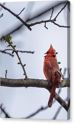 Male Northern Cardinal Canvas Print by Randy Scherkenbach