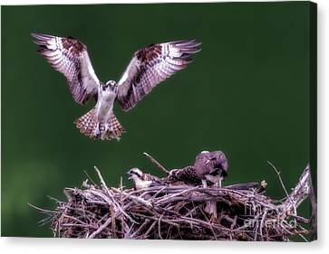 Male Osprey Returning To Nest With Fish For Young Osprey Canvas Print by Dan Friend