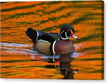 Male Wood Duck, Aix Sponsa, Swimming Canvas Print by Darlyne A. Murawski