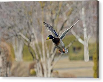 Mallard Approach Canvas Print by Mike  Dawson